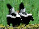 [H]Skunk