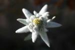 Ciprian edelweiss