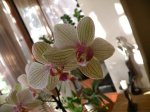 OrchidShine