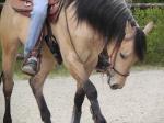 MV Quarter Horse