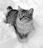 SnowDapple