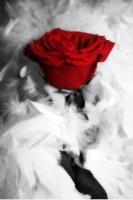 خجل الورد