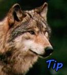 Wolf_Fang121