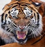 tigre_furioso