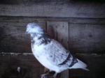 Non pigeon Chat 183-63
