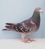 Non pigeon Chat 25-60