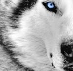 RtG Lone Grey Wolf