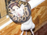 ophidyus reptiles