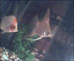 angelfish_2009