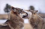 wolf_cub61