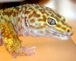 gecko-mania