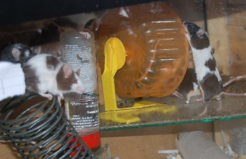 66 Adult and Young Male Mice