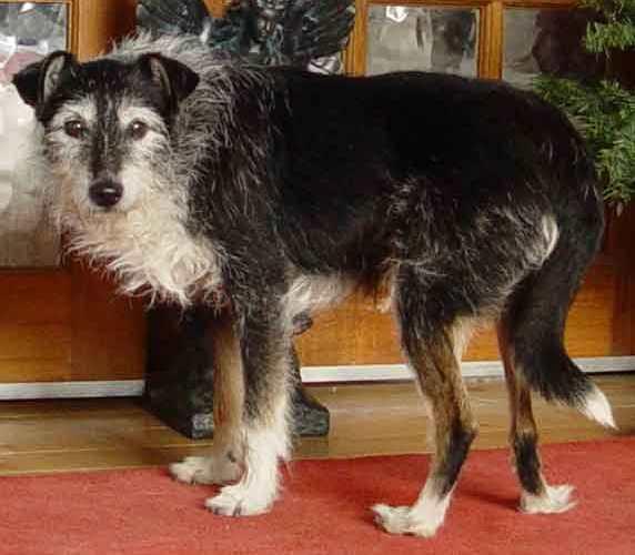 Alfie - 12 year old Male Terrier Cross