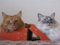 Bailey 6 year old blue tabby mitted ragdoll and Tiger NOW RE HOMED