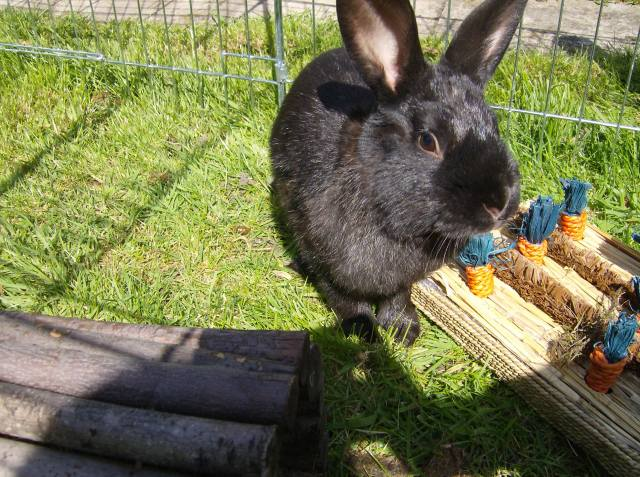 Bertie - 8 Month Old Male Rabbit