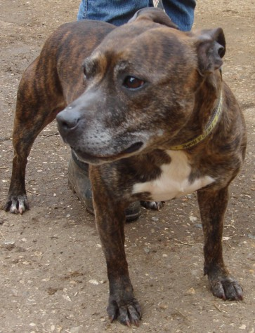 Cassie is about  5-6 years old who is a Staffordshire Bull Terrier Cross brindle girl