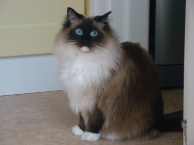 Cocoa 3 year old seal mitted ragdoll seeks home with brother Milo