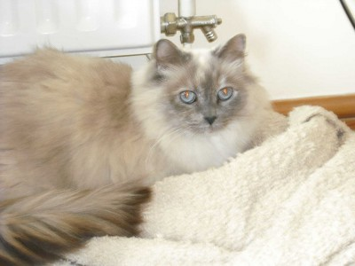 Ellie 10 year old blue/cream tortie seeks new home with Flo
