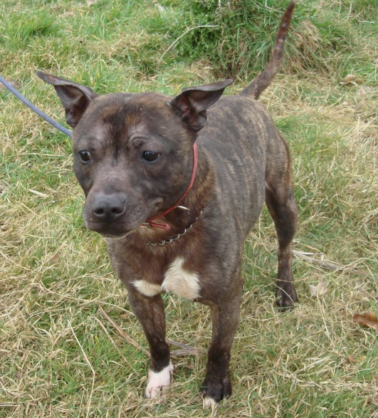 Gizmo is a Staffordshire Bull Terrier boy who is about 4 years old