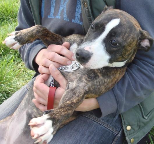 Hazel - 6 months old female Terrier Cross