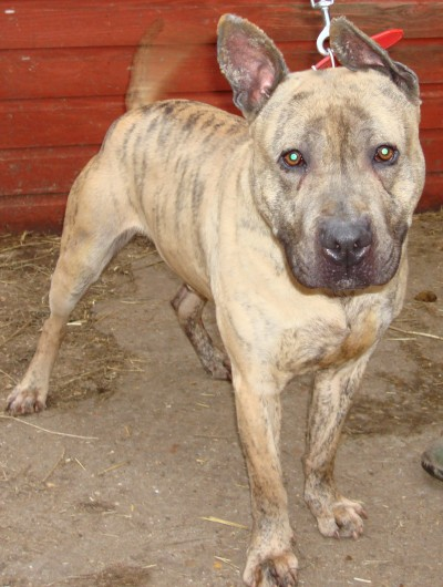 Ice is a lovely 2-3 year old medium to large cross breed boy