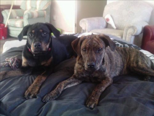 Jinx & Titch 7 month old mastiff x's