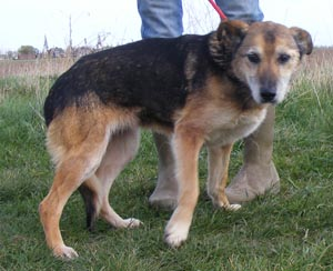 Lola is a Shep x girl of about 8/10 years.