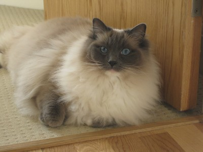 Milo 3 year old blue mitted male ragdoll seeks home with sister cocoa