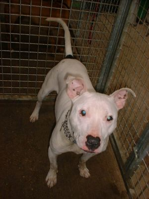 Ollie is a 1-2 year old Staffordshire Bull Terrier