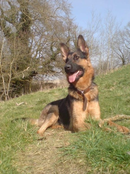 Taylor is an 18 mth old female GSD.