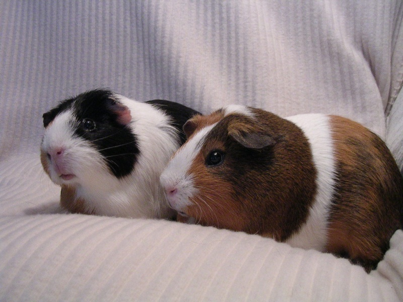 Sow and Neutered Boar for Adoption