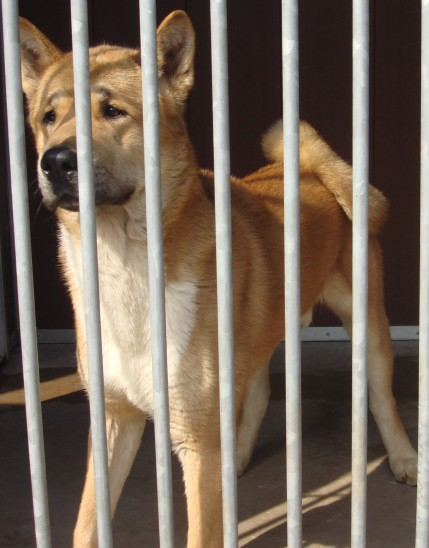 Rex - 5 year old male Japanese Akita
