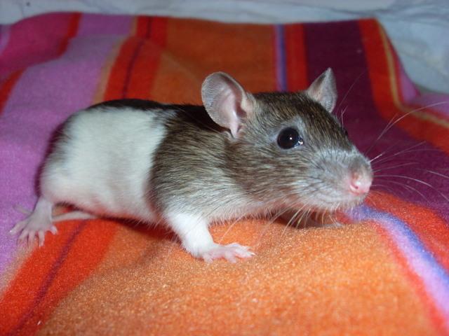 Baby Rats - Boys