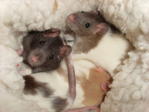 Baby Rats - Girls