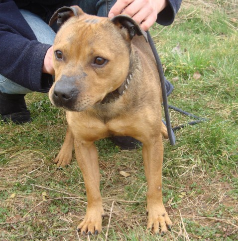 Saffie is a 3 year old Staffordshire Bull Terrier
