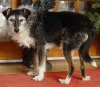 Alfie - 12 year old Male Terrier Cross