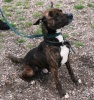 Cane - 2-3 year old male Staffordshire Bull Terrier Cross