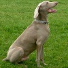 Chester 9 year old Weimaraner