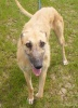 Is a lovely Lurcher girl of about 2/3years. China gets on well with everyone, she adores people & loves to be with you all of the time. China travels well in the car & walks nicely on her lead. China is still not too sure what toys are all about. She is happy to have a burst of energy, then lays down to sleep. China is also house-trained. She is neutered, part vac'd, chipped, wormed & frontlined.  To find out more about her please contact http://www.millrescue.co.uk/  To read her thread please click on the following link https://animallifeline.forumotion.net/rescue-animals-looking-for-homes-f34/china-t985.htm