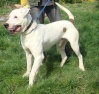 Digby - 2 year old male American Bulldog Cross Great Dane