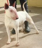 She's fine on the lead and recall but should be rehomed as the only pet.   She is Currently kennelled at Tresswell please call Louise or Sue on 07546594296  To read her thread please click on the following link https://animallifeline.forumotion.net/rescue-animals-looking-for-homes-f34/ellie-3-year-old-female-english-bull-terrier-t383.htm