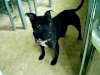 Floyd- 4yr old male staffie-Nottingham