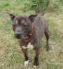 """He has been stuck in the kennel system for over a year because He doesn't like dogs.  He's been described by the kennels as """"lovely to walk as he always stays within six feet of you""""   He is currently kennelled at Tresswell please call Louise or Sue on 07546594296 between 10am - 6pm Monday to Saturday or 10am - 4pm Sunday to make an appointment.  To read his thread please click on the following link https://animallifeline.forumotion.net/rescue-animals-looking-for-homes-f34/gizmo-4-year-old-male-staffordshire-bull-terrier-t663.htm"""