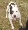 Lewis is a fantastic little 2 year old Staffordshire Bull Terrier boy.