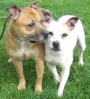 Marley and Jasper are a pair of 3 year old female Staffordshire Bull Terriers