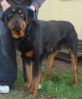Peter - 2-3 year old male Rottweiler