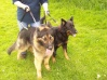 Becks, 2 year old GSD male, and Posh 4/5 year old GSD bitch. They are currently in the care of German Shepherd Rescue Uk, and more details will be on the website soon.