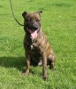 Sam is a 2 year old brindle Staffordshire Bull Terrier cross.