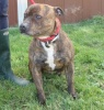 Troy has just arrived at the kennels and seems very placid and calm.  A really fabulous example of a beautiful little Staffie. He's great on the lead and has good recall. He hasn't been in rescue long enough to assess how he is with other dogs but he appears to be unruffled by them at the moment.  Troy is currently kennelled at Tresswell please call Louise or Sue on 07546594296 between 10am - 6pm Monday to Saturday or 10am - 4pm Sunday to make an appointment.  Please either call the above number or visit www.dogsos.co.uk to fill in a rehoming form.