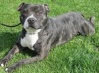 Warren is a 3 year old male black brindle coloured Staffordshire Bull Terrier